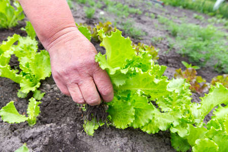 pluck: young lettuce crop, pluck from the garden Stock Photo