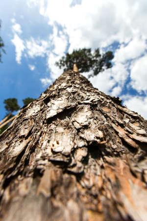 the view from below: Pine tree trunk view from below. focus on tree bark