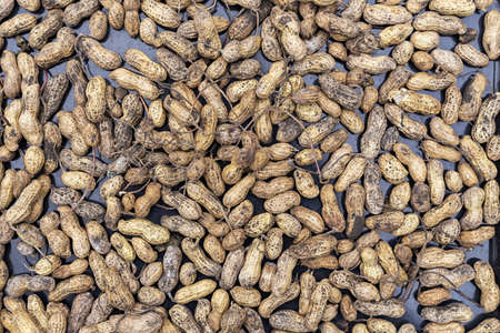 organically: a lot of organically grown groundnut peanut in the peel, tasty beans, a healthy diet
