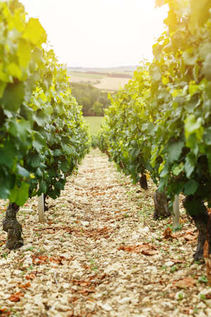 bordeaux region: Wine design vineyard, background for wine card, vintage Stock Photo