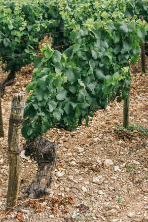 Bush of grapes in the field, wine region in france, wine business, space for text Stock Photo