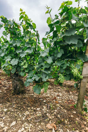 famous industries: Grape bush close-up, winemaking in France, northern Burgundy, the city of Chablis