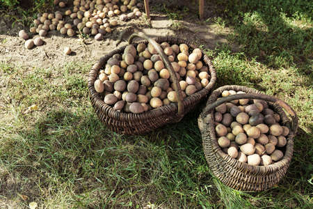 harvest potatoes of different colors and different varieties in a basket on the grass Zdjęcie Seryjne
