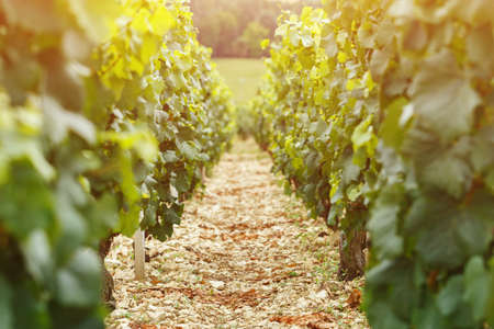 bordeaux region: A vineyard in France, a place for text. A lot of grapes grow on the field Stock Photo