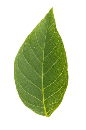 白い背景の分離、よく見える葉のテクスチャーのクルミの木の葉 写真素材