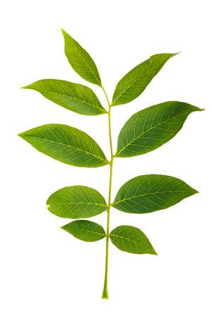 白い背景にクルミの木の葉が隔離され、よく見える葉の質感