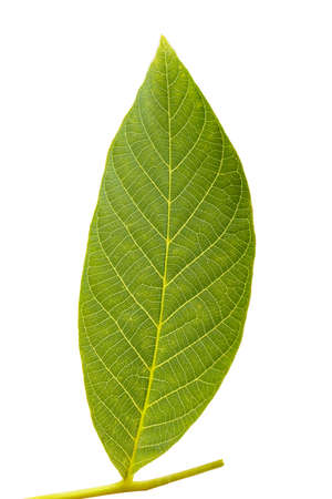 leaf of walnut tree on white background isolated, well visible leaf texture