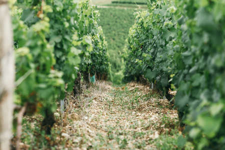 A young grape bush, between the bushes the ground is strewed with chips, winemaking in France, space for text Stock Photo