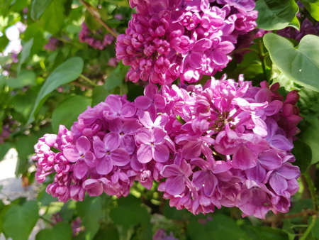 flowering bush purple lilacs in a botanical garden. May flowers