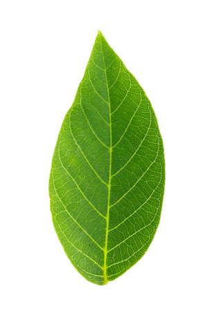 walnut leaves on white background, isolated