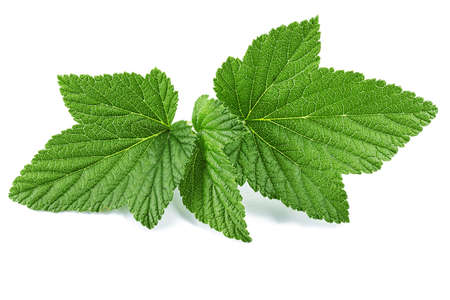 Currant leaves isolated on white background. clipping path
