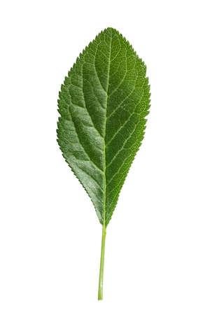 Plum leaf isolated