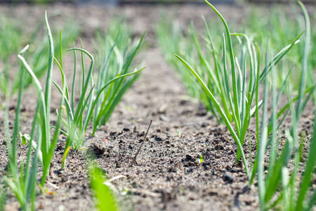 young organic onion beds grow in rows in the garden on the farm