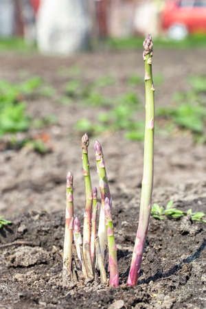 thick sprouts of asparagus grow in the garden on the farm. space for text