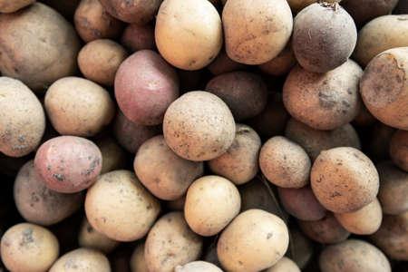 a lot of potatoes scattered as a background. harvest on the farm