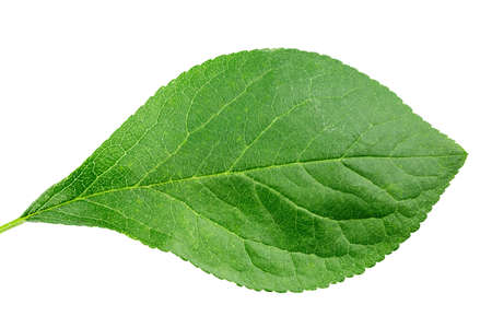 One fresh leaf of plum isolated on white background. clipping path 写真素材