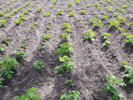 small bushes of potatoes grow in rows in the garden. growing organic vegetables Standard-Bild
