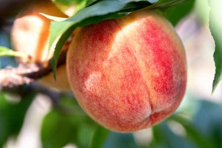 Zweig des Pfirsichbaums in Nahaufnahme
