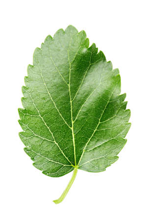 green leaf of mulberry isolated on white background. place for text. clipping path