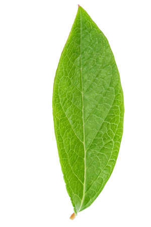 a blueberry leaf isolated on white background.