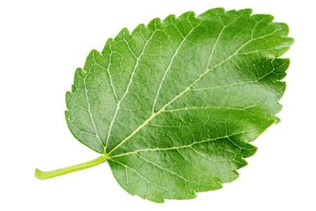 green leaf of mulberry isolated on white background. place for text.