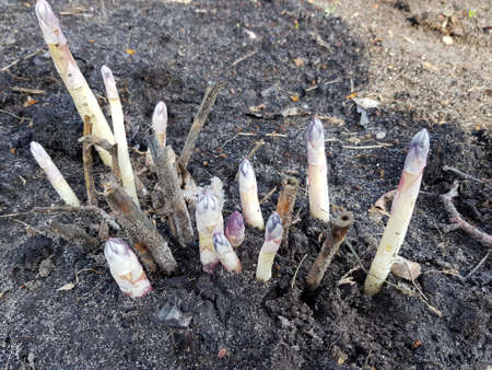 young asparagus sprouts grow from the ground in the garden
