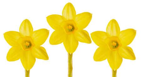 fleurs de narcisses jaunes fraîches sur fond blanc. premières fleurs du printemps