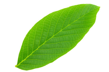 Walnut leaves isolated on white background. File contains clipping path.