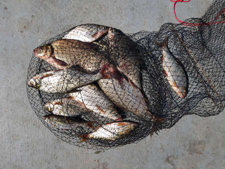 Fishing concept. Freshwater fish on keepnet with fishery catch in it. In the catch of bream and roach.