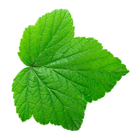 Currant leaf isolated on white background. File contains clipping path.