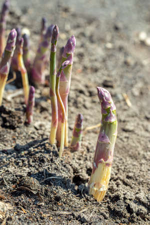 Young organic asparagus grows in a vegetable garden. useful and expensive farm product. Spring harvest Reklamní fotografie