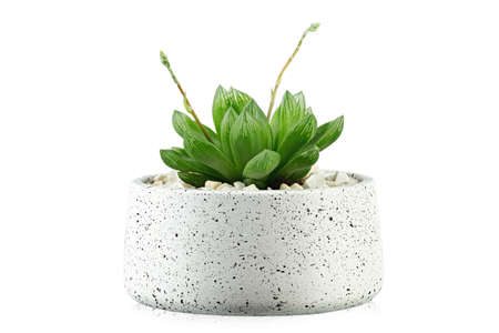 Succulent plants. Small green cactus plant in a pot isolated on white background.