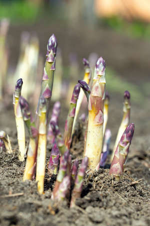 Young organic asparagus grows in a vegetable garden. useful and expensive farm product. Spring harvest 写真素材
