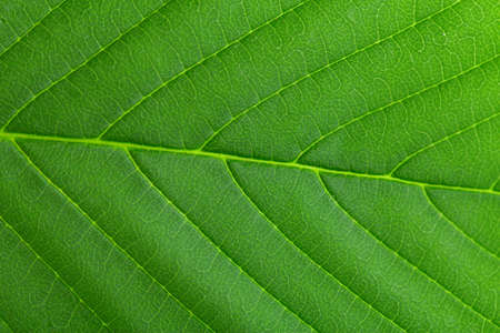 Green leaf close up. Plant texture. Green earth concept.