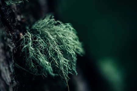 Lichen hanging from a tree. Moss growing in the forest. Close-up