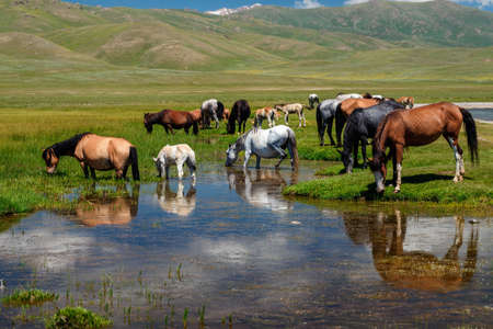 A herd of horses at a watering hole. Traditional pasture in the mountains of Kyrgyzstan Imagens