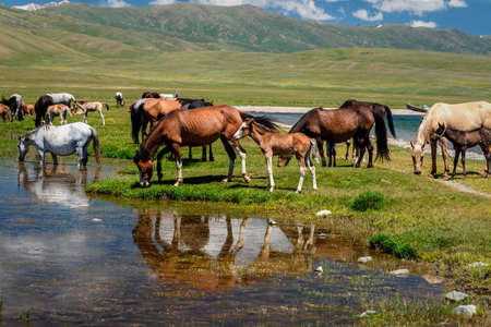 A herd of horses at a watering hole. Traditional pasture in the mountains of Kyrgyzstan. Sonkul lake Imagens