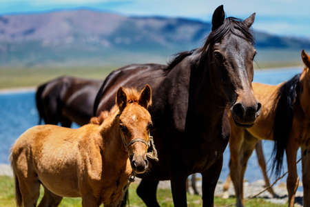 Horse with a foal on a pasture in the mountains. Traditional pasture in the mountains of Kyrgyzstan. Sonkul lake Imagens