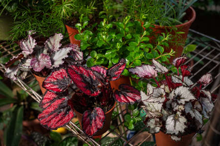 Colorful home plants on a shelf in a home greenhouse. Coleus bloom house plant