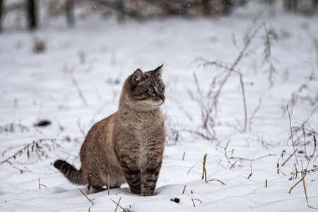 Cute blue-eyed kitten in winter surprised by the snowfall. Beautiful kitten outdoors in winter. Neva masquerade Siberian cat Imagens