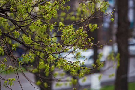 Appearance of leaves and earrings on the branches of a tree in the city. Spring time. Appearance of leaves on a maple. Close-up