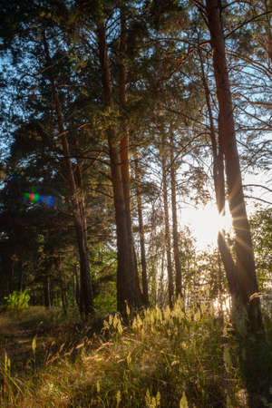 The sun's rays pass through the pine trees and illuminate the grass in the meadow
