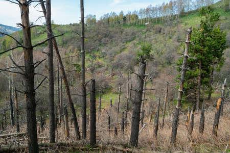 Dead coniferous trees in the mountains. Tien Shan mountains. Kazakhstan
