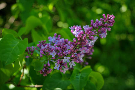 A sprig of blooming lilacs. Spring mood