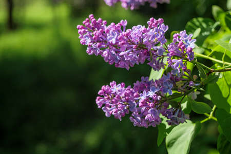 A sprig of blooming lilacs. Purple lilac blossom. Spring mood