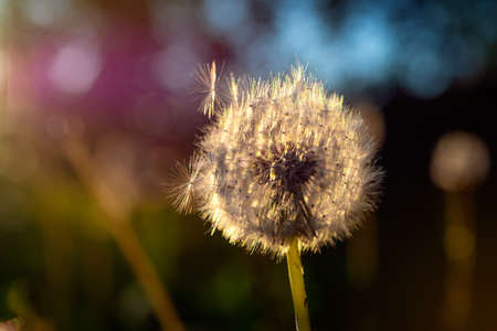 The head of a ripened dandelion in the rays of the evening sun. Spring mood