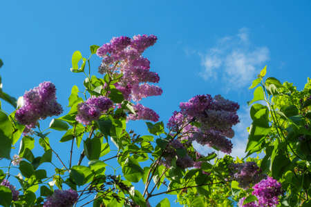 Twigs of blooming lilac on a background of blue sky. Spring mood Imagens