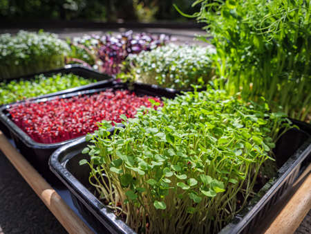 Tray with microgreens. Plants of various plants