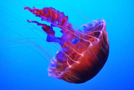 Jelly fish  photo