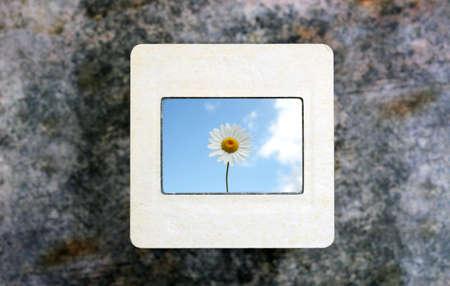chamomile on slide film photo